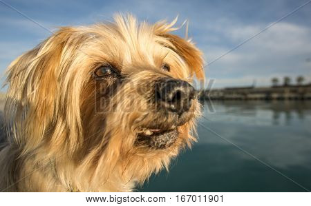 Dog face. Wide angle Selective focus, twinkle in his eye. Yorkshire Terrier brown dog. Closeup detail doggie Maritime background