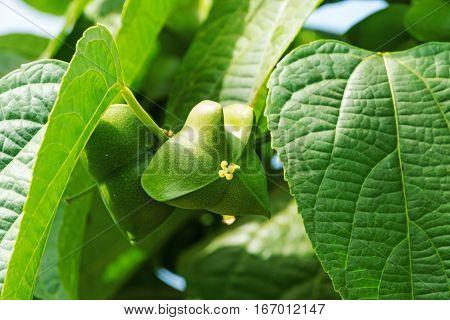 Sacha Inchi tropical mountain peanut on creeper plant
