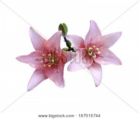 Bright beautiful pink lily flowers isolated on white background