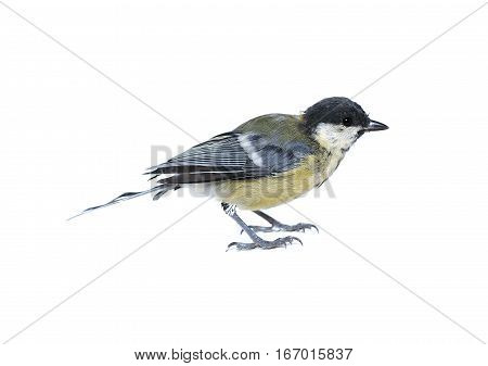 Small tit bird isolated on a white background