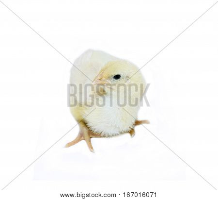 Nestlings little yellow chick on a white background