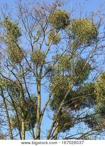 Mistletoe clusters clinging to the tree
