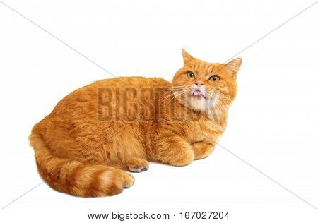 ginger cat  red isolated on white background