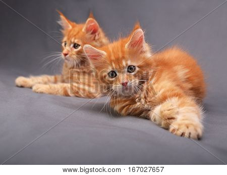 Two Adorable Playful Red Solid Maine Coon Kitten Lying With Beautiful Brushes On The Ears On Grey Ba