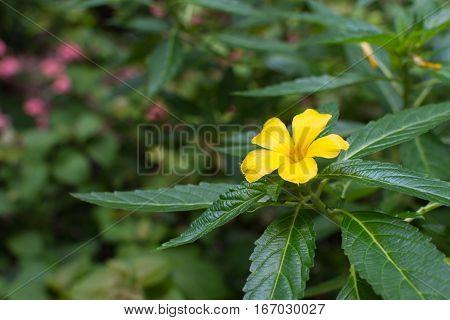 Flower (sage Rose Flower)