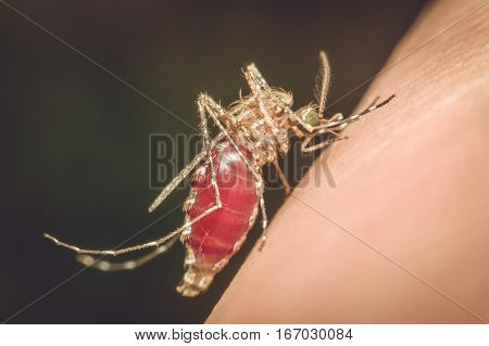 Macro of mosquito (Aedes aegypti) sucking blood close up on the human skin. Mosquito is carrier of Malaria Encephalitis Dengue and Zika virus process in vintage style