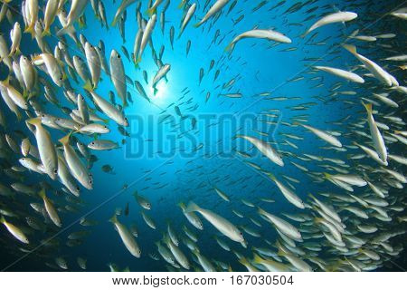 Fish school snapper fish underwater ocean