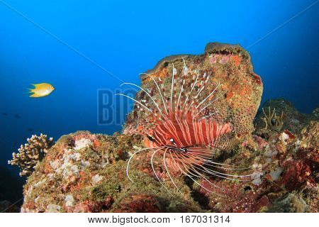 Lionfish coral reef fish