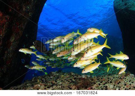 Yellowfin Goatfish. Shoal yellow fish underwater