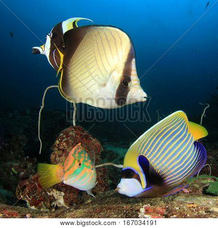 Tropical fish. Angelfish, wrasse, butterflyfish