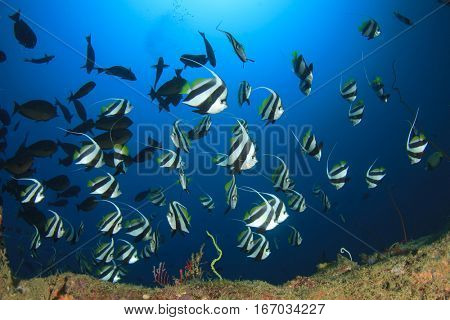 Bannerfish coral reef fish in ocean