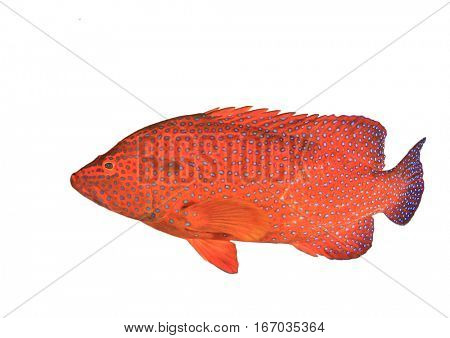 Coral Grouper fish isolated white background