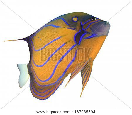 Tropical fish isolated white background. Blue-ringed Angelfish