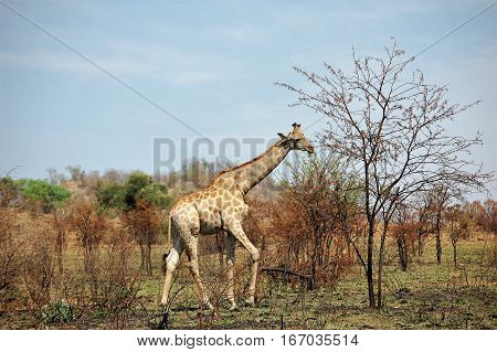 Magnificent African giraffe with long neck walking
