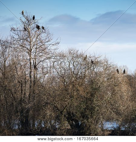Collection of cormorant shag birds roosting in Winter tree
