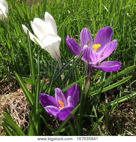 spring flowers in bloom purple and white in grass