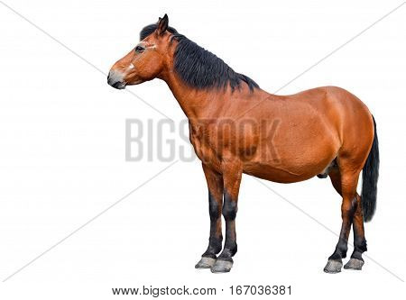 Horse isolated on white background. Farm animals. Brown bay horse isolated on white background. Beautiful horse in front of white background