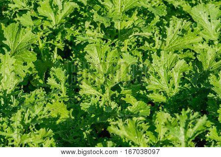 background of Turnip greens in agricultural garden