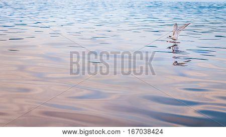 Seagull on Wood Stock in Kabui Bay near Waigeo. West Papuan, Raja Ampat, Indonesia.