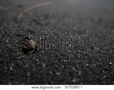 A small crab crawls out of a hole on a black sand beach in Hawaii.
