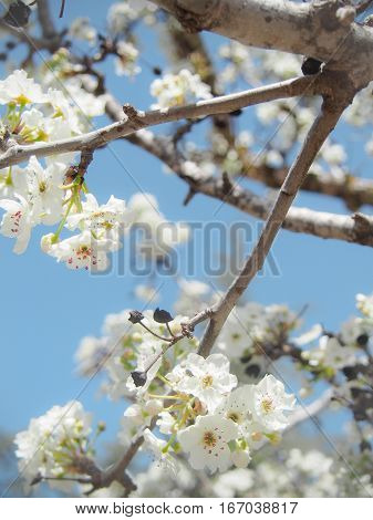 White blossoms on a tree with a bright blue sky in the background evokes springtime.