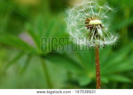Dandelion seeds on green close-up background summer