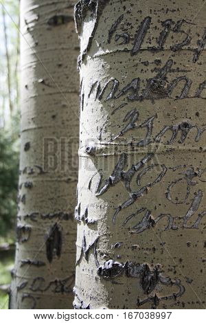 Throughout the years people have carved scriptive words in these aspen trees leaving beautiful and romantic scars.