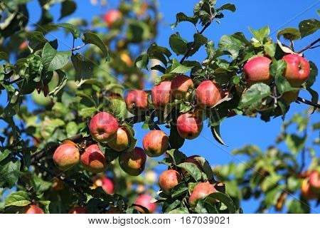 detail of red apples on the tree
