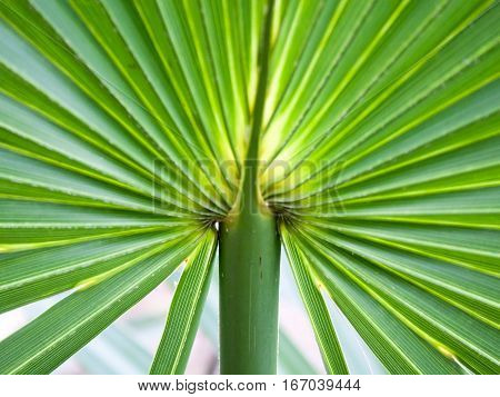 A closeup shot of a palmetto plant shows and intersting pattern.