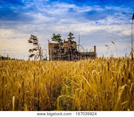 Grain field and abandon house in Prince Edward Island
