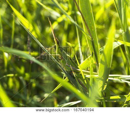 Giant Green Slant face grasshopper (Acrida conica)