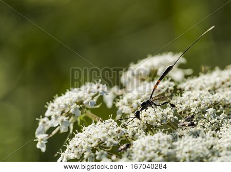 Sabre Wasp (Rhyssa persuasoria) on a carrot flower