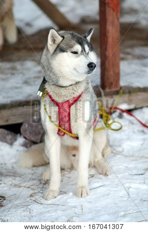 Silver Sled Husky. Working sled dogs of the North. Dog sledding in the winter in the harnesses to drive in the snow.