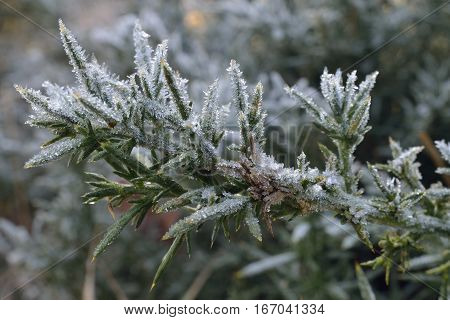 Frost on Common Gorse - Ulex europaeus Crabtree Hill restored Heathland Forest Of Dean Gloucestershire