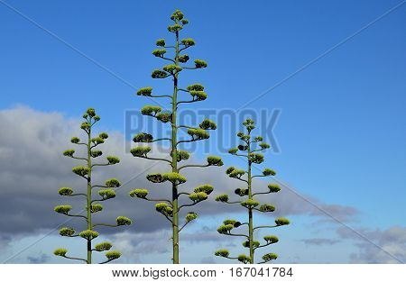 Stems of agave in bloom with blue sky and clouds