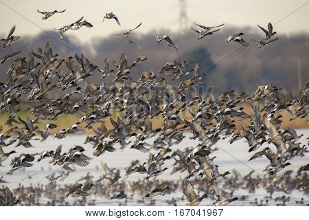Eurasian Wigeon (Anas penelope) group in flight above a Lake