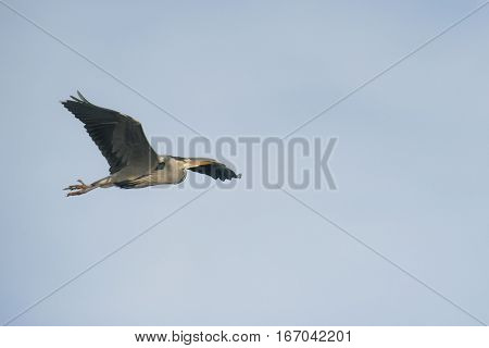 Grey Heron (Ardea cinerea) in flight against a blue Sky