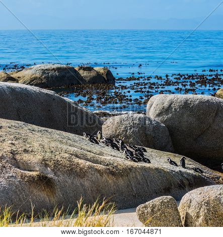 Large rocks and seaweed on the beach of Atlantic Ocean. Boulders Penguin Colony in the Table Mountain National Park, South Africa. The concept of ecotourism
