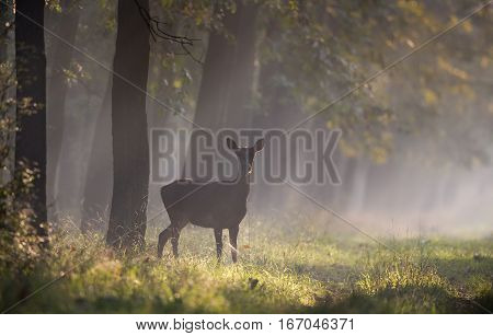 Hind In Forest