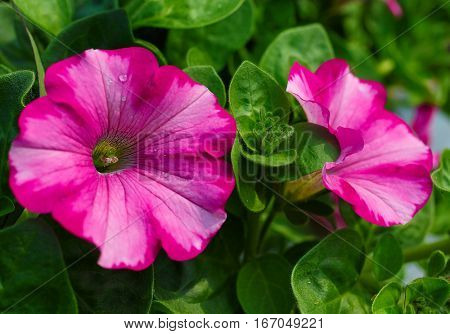 Pretty two toned pink petunias in the home garden.