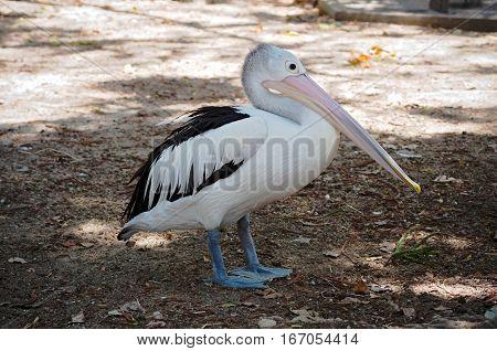 australian pelican or pelecanus conspicillatus bird full body