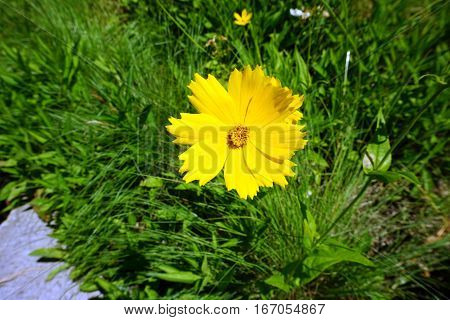 A lance-leaved coreopsis flower (Coreopsis lanceolata) blooms in Joliet, Illinois during June.