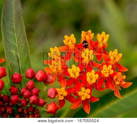 A BLACK AND ORANGE LADYBUG ON AN ORANGE AND YELLOW BUTTERFLY WEED