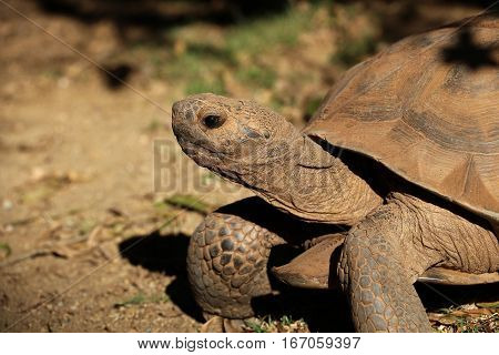 Desert tortoise viewed close up side view, facing left