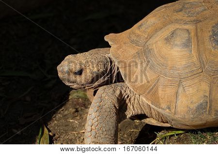 Desert tortoise (Gopherus agassizi) facing left, side view, copy space