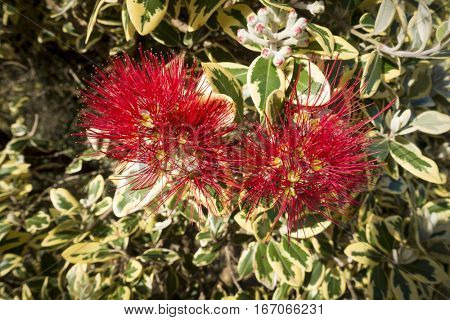 An image of a typical pohutukawa tree red blossom in new zealand
