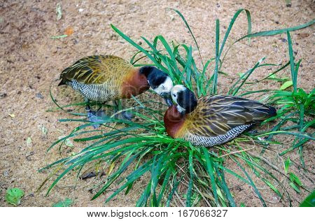 Tender kissing white-faced whistling ducks in the grass in Iguacu National Park of the Iguazu Falls, one of the worlds largest and most impressive waterfalls, Foz de Iguacu, Parana State, Brazil