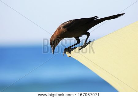 Bird on the beach umbrella looking for food.