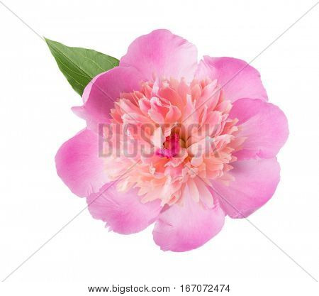 Pink peony  isolated on white background.