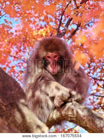 Sandness. Japanese monkey in red maple tree. Iwatayama Monkey Park. Arashiyama in Kyoto. Japan.